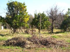 The pile of brumbles after clearing the orange trees and the vines